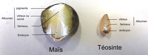 comparaison de la constitution et de la taille du grain de maïs et du grain de téosinte