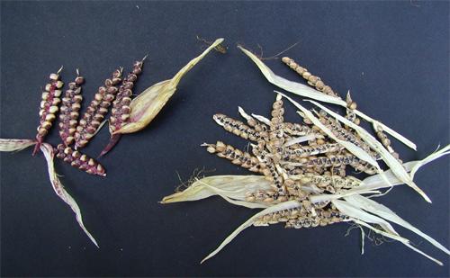 épis à deux rangs issus de croisements maïs/téosinte