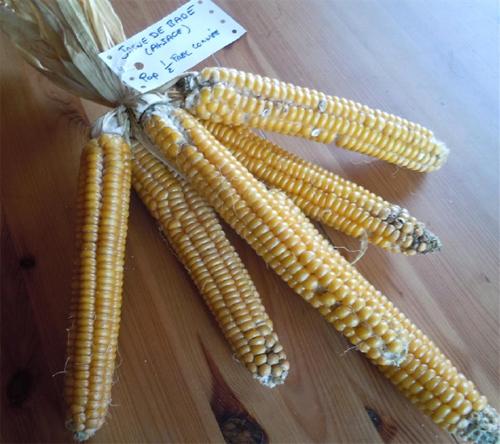 Épis du maïs