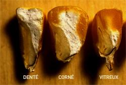 photos comparative de grains de maïs denté, corné et vitreux