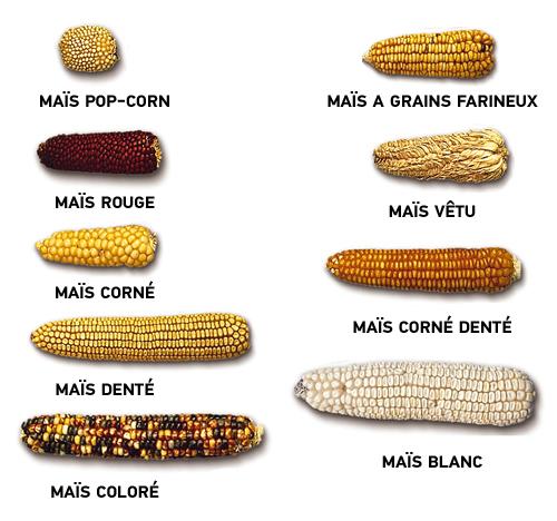 les différents types d'épis de maïs